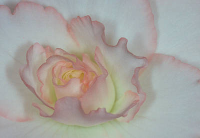 Photograph - Begonia 1 by Andy Shomock