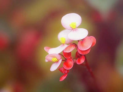 Photograph - Begonia Beauty by Gabriela Neumeier