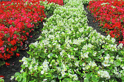 Photograph - Begonia Bed 2 by Randall Weidner