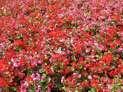 Photograph - Begonia Bed 3 by Randall Weidner