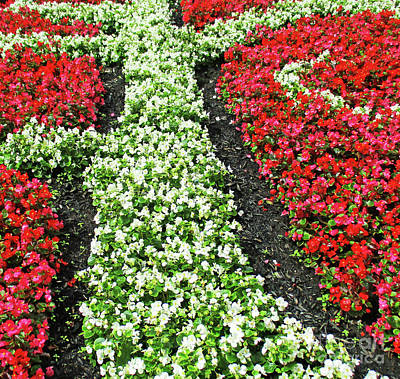 Photograph - Begonia Bed by Randall Weidner
