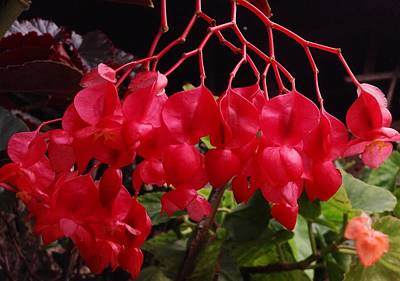 On Trend At The Pool - Begonia Delight by Dickson Shia