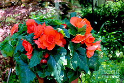 Begonia Garden Painting - Begonia Plant by Corey Ford