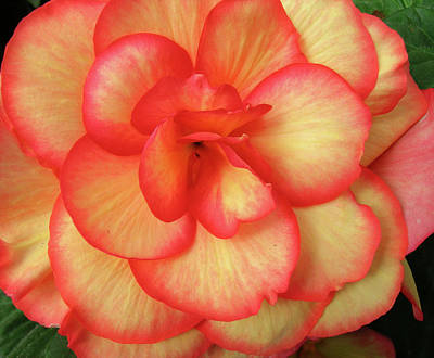 Photograph - Begonia No. 1 by Sandy Taylor