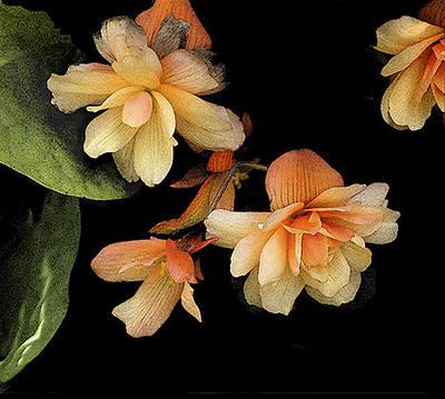 Photograph - Begonias 2 by Janis Nussbaum Senungetuk