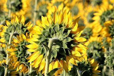 Photograph - Behind A Sunflower Field by Sheila Brown