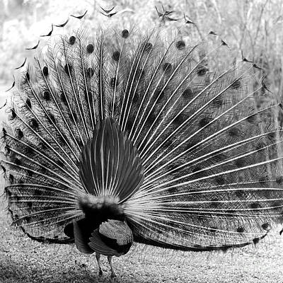 Photograph - Behind The Peacock - Black And White by Carol Groenen