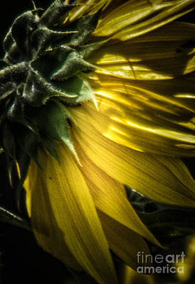 Photograph - Behind The Petals-sunflower by Toma Caul