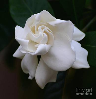 Photograph - Behold The Gardenia by Cindy Manero