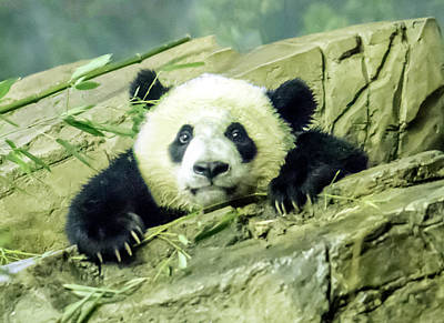 Photograph - Bei Bei Panda At One Year Old by William Bitman