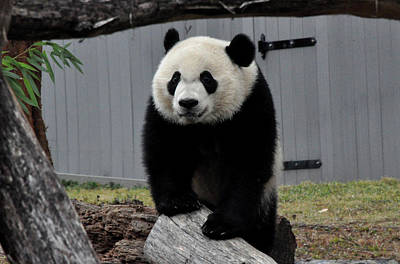 Photograph - Bei Bei Panda by Diane Lent