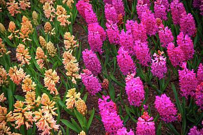 Photograph - Beige And Pink Hyacinth. Keukenhof  2015 by Jenny Rainbow