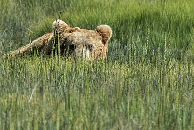 Photograph - Being Watched By A Big Brown Bear by Belinda Greb