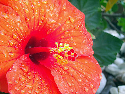 Photograph - Bejeweled Hibiscus by Adam Johnson