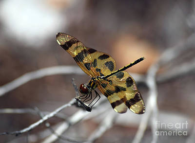 Celithemis Eponina Photograph - Bejeweled Wings by William Tasker