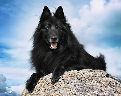 Sheepdog Photograph - Belgian Sheepdog Portrait 10 by Wolf Shadow  Photography