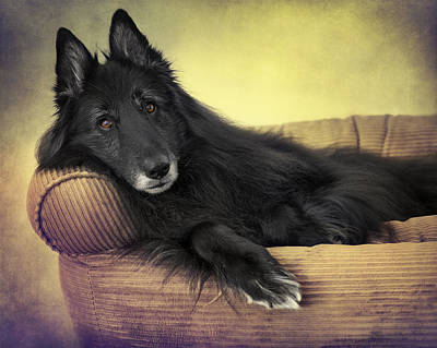 Sheepdog Photograph - Belgian Sheepdog Reclining by Wolf Shadow  Photography
