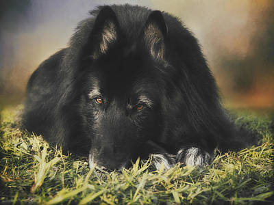 Sheepdog Photograph - Belgian Shepherd Groenendael  Portrait 13 by Wolf Shadow  Photography