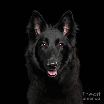 Photograph - Belgian Shepherd Groenendael by Sergey Taran