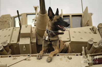 Painting - Belgian Shepherd Malinois On Top Of Tank by Celestial Images