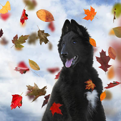 Belgian Sheepdog Photograph - Belgian Shepherd Puppy In Autumn 2 by Wolf Shadow  Photography