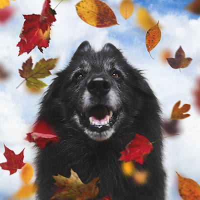 Belgian Sheepdog Photograph - Belgian Shepherd With Autumn Leaves by Wolf Shadow  Photography
