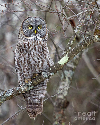Photograph - Believe- Great Gray Owl by Lloyd Alexander