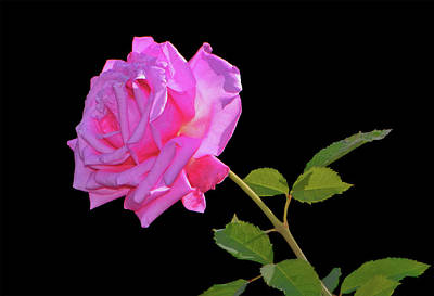 Photograph - Belinda's Dream Rose 005 by George Bostian