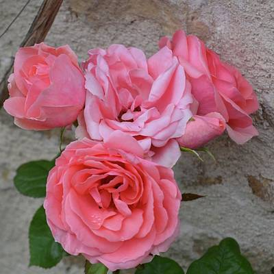 Photograph - Bella Pink Roses by Cheryl Miller