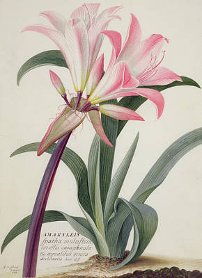 Lilies Drawing - Belladonna Lily by Georg Dionysius Ehret