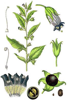Nirvana - belladonna or deadly nightshade, Atropa belladonna by Bildagentur-online