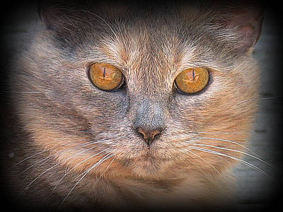 Golden Eye Cat Photograph - Belle by Mg Blackstock