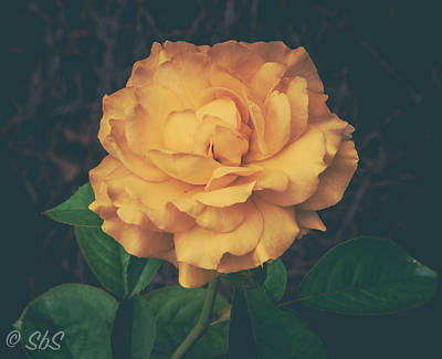 Photograph - Belle Of The Garden by Stefanie Silva