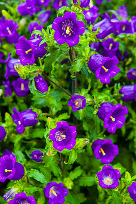 Photograph - Bellflower Campanula Medium by Jodi Jacobson