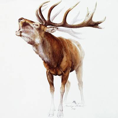 Painting - Belling Stag Watercolor by Attila Meszlenyi