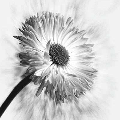 Summer Photograph - Bellis In Mono  #flower #flowers by John Edwards