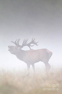 Photograph - Bellowing Deer In Fog by Arterra Picture Library
