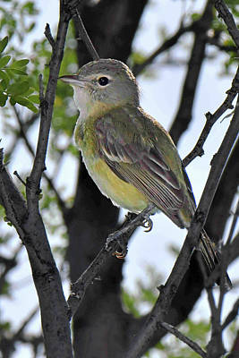 Photograph - Bell's Vireo by Alan Lenk