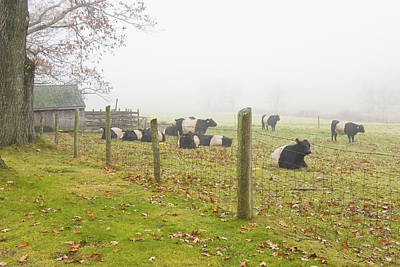 Country Scene Photograph - Belted Galloway Cows Farm Rockport Maine Photograph by Keith Webber Jr