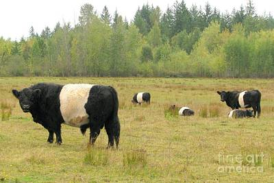Photograph - Belted Galloways by Frank Townsley