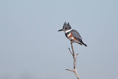 Landscape Photos Chad Dutson - Belted Kingfisher 3 by Ronnie Maum