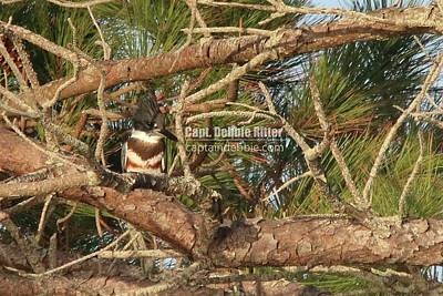 Photograph - Belted Kingfisher 9697 by Captain Debbie Ritter