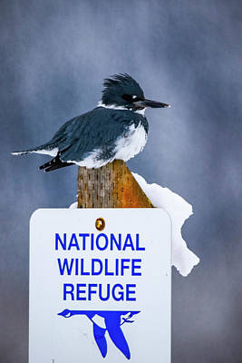 Photograph - Belted Kingfisher by Albert Seger