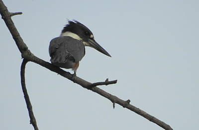 Petrie Island Photograph - Belted Kingfisher by Betty-Anne McDonald