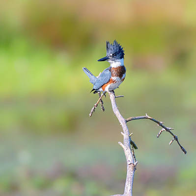 Photograph - Belted Kingfisher by Bill Wakeley
