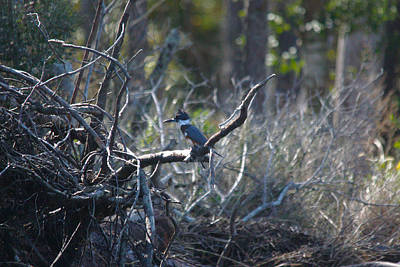 Photograph - Belted Kingfisher by Captain Debbie Ritter