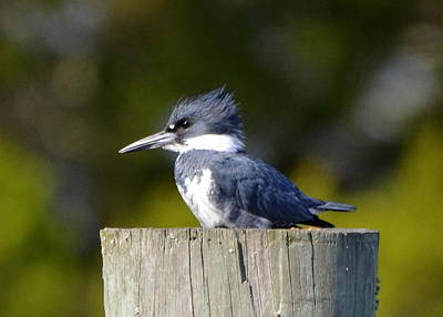 Photograph - Belted Kingfisher by Carla Parris