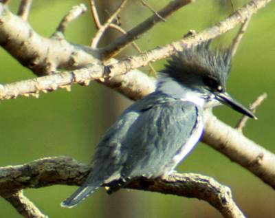Photograph - Belted Kingfisher by Christopher Kirby
