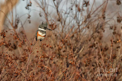 Photograph - Belted Kingfisher by David Cutts