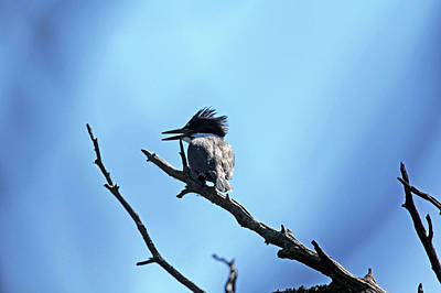 Photograph - Belted Kingfisher by Debbie Oppermann